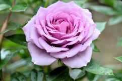 Pasión púrpura Rose fotografía de archivo