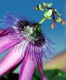 Pasión verde de la mosca Fotografía de archivo libre de regalías