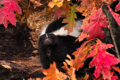 Pasiaści Skunksowi zerknięcia Out od liści (Mephitis mephitis) obrazy stock