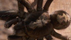 Pasiasta Kolanowa tarantuli odprowadzenia krawędź deska zbiory