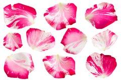 Pasiasta menchii róża na bielu obrazy royalty free