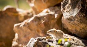 Pasiasta Śródpolna mysz Fotografia Stock