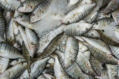Pasiasta Seabream ryba Obraz Royalty Free