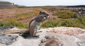 Pasiasta zmielona wiewiórka (Xerus erythropus) Zdjęcia Stock