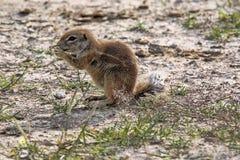 Pasiasta Zmielona wiewiórka, Xerus erythropus na kwitnącej pustyni Kalahari, Południowa Afryka Zdjęcie Stock