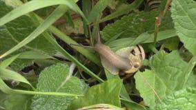 Pasiasty ślimaczka czołganie w zielonej trawie zdjęcie wideo