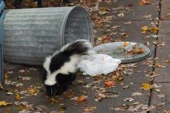 Pasiasty śmierdziel Wywróconym kubeł na śmieci (Mephitis mephitis) zdjęcia royalty free