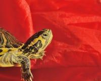 Pasiasty żółw Zdjęcia Royalty Free