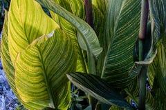 Pasiasty jasnozielony koloru żółtego i zieleni liście Zdjęcia Stock