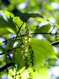 Pasiasty Klonowy drzewo w kwiacie Zdjęcia Stock