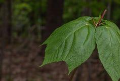 Pasiasty klonowy moosewood opuszcza w Muskoka lesie fotografia royalty free