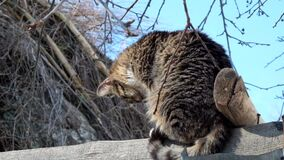 Pasiasty kot siedzi na dachu stajnia i patrzeje blisko przy coś below zdjęcie wideo