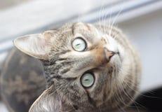 Pasiasty kot z zielonych oczu spojrzeniami upwards zdjęcie royalty free