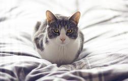 Pasiasty popielaty kot z cudownym kolorem żółtym ono przygląda się obrazy stock