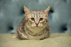Pasiasty przelękły młody kot zdjęcie stock