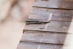 Pasiasty Skink Trachylepis striata w Tanzania Obraz Stock