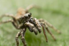 Pasiasty Skokowy pająk Zdjęcia Royalty Free