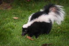 Pasiasty Skunksowy Mephitis mephitis Obwąchuje w trawie fotografia royalty free
