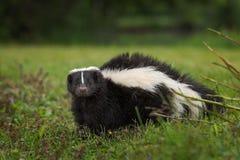 Pasiasty Skunksowy Mephitis mephitis Patrzeje Out od ziemi zdjęcia royalty free