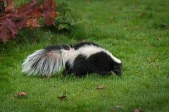 Pasiasty Skunksowy Mephitis mephitis Obwąchuje Dobrze w trawie zdjęcie royalty free