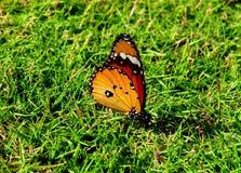 Pasiasty Tygrysi motyl Fotografia Stock