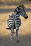 Pasiasty: Zebra od tyły obraz stock