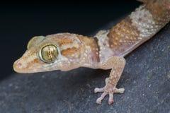 Zmielony gekon, Paroedura bastardi/ fotografia stock