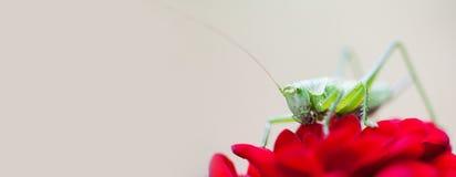 Pasikonik na czerwieni róży kwiatu płatku Zakończenie fotografii krykieta Tettigonia Wielki Zielony viridissima Insekta makro- wi Zdjęcie Stock