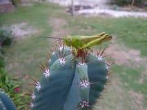 Pasikonik na kaktusie Zdjęcie Royalty Free