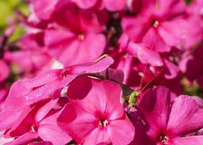 Pasikonik na kwiacie Obrazy Stock