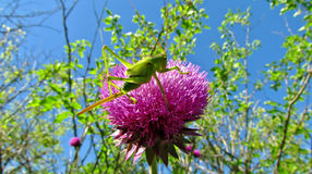 Pasikonik na kwiacie Fotografia Stock