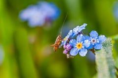 Pasikonik na lato łące siedzi na błękitnych kwiatach zapominający Obrazy Stock