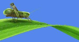 Pasikonik na trawie odizolowywającej ilustracja wektor