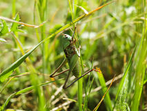 Pasikonik siedzi na trawie Fotografia Royalty Free