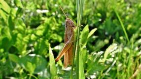Pasikonik w trawie Zdjęcie Royalty Free