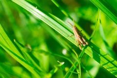 Pasikonik w trawie Fotografia Royalty Free
