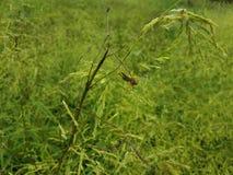 Pasikonika insekt z antennae na zielonej trawie lub roślinie zdjęcie royalty free