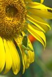 pasikonika słonecznik Obrazy Stock