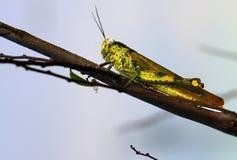 Pasikonika Valanga nigricornis wewnątrz w górę fotografia royalty free