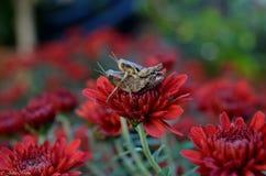 Pasikoniki na czerwonym kwiacie Zdjęcia Royalty Free