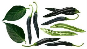 Pasilla Bajio chilaca peppers, leaves, paths. Pasilla Bajio or Chilaca Chile Peppers Capsicum annuum, green. Clipping paths for each stock illustration