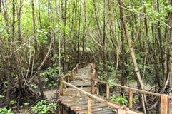 Pasillo de madera en el bosque del mangle Imagen de archivo libre de regalías