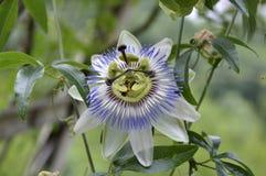 Pasionaria de la flor Fotos de archivo