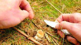 Pasja dla zbierać pieczarki Ręka z strzępiastą noża cięcia pieczarką w las ziemi Ręki ostrożnie cią, czyścą daleko od i biorą, zbiory wideo