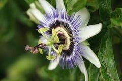 pasja kwiat Zdjęcia Royalty Free