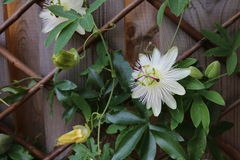 Pasja kwiaty Obrazy Royalty Free