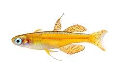 Paskai paska& x27; s青眼睛rainbowfish - pseudomugil paskai水族馆鱼红色氖 库存照片