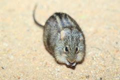 Paskująca trawy mysz obraz stock