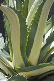 Paskująca wiek roślina Fotografia Stock