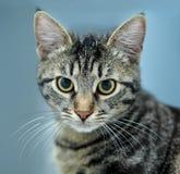 paskujący paskować zamknięty kota portret Obrazy Royalty Free